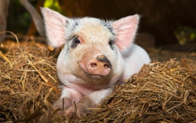 ВПолтавской области зафиксировали вспышку африканской чумы свиней