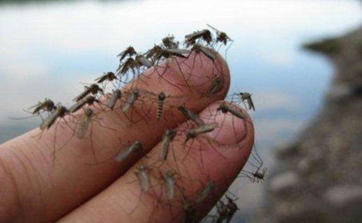 Владельцы Google решили выпустить 20 млн зараженных комаров наприроду