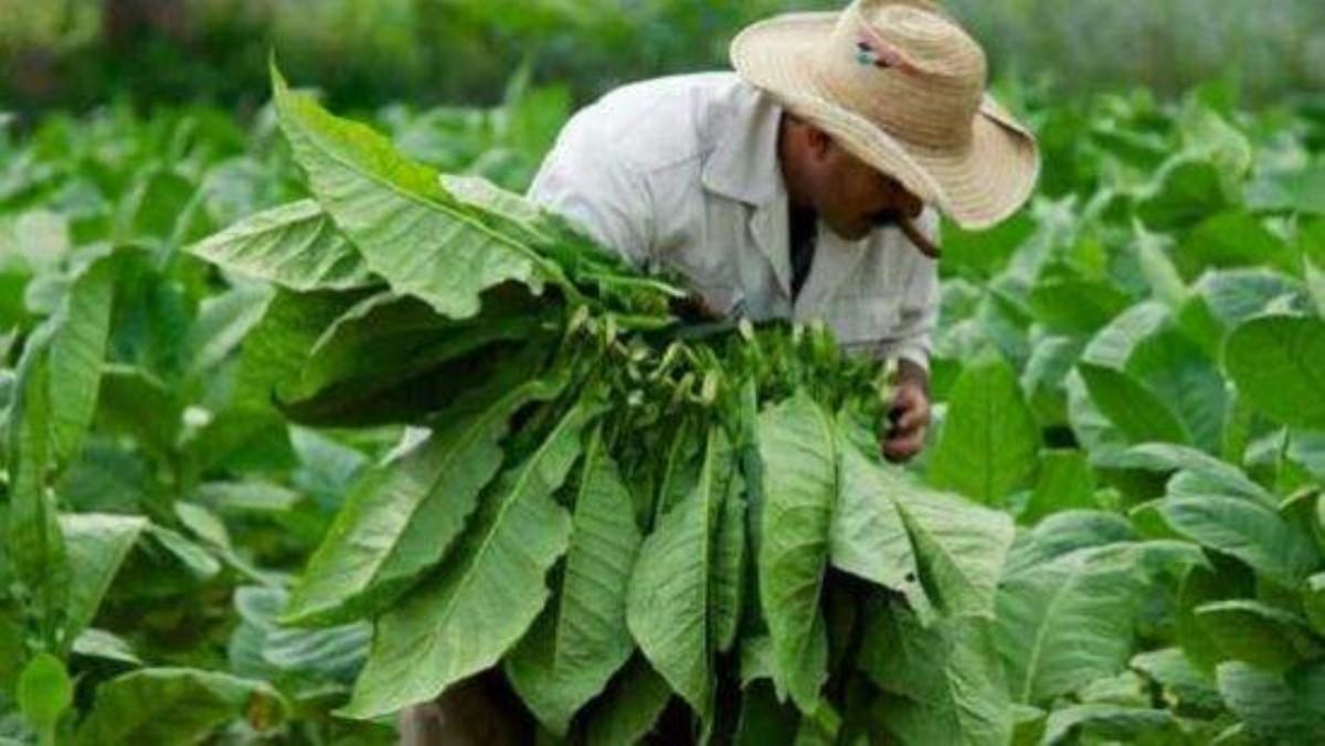 Ученые отыскали непредвиденные полезные свойства табака